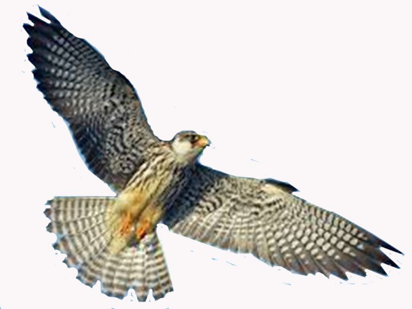 WII scientists to tag five Amur falcons in Tamenglong in mid-October