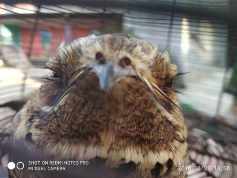 Owlet-Nightjar – A Rare Migratory Bird rescued
